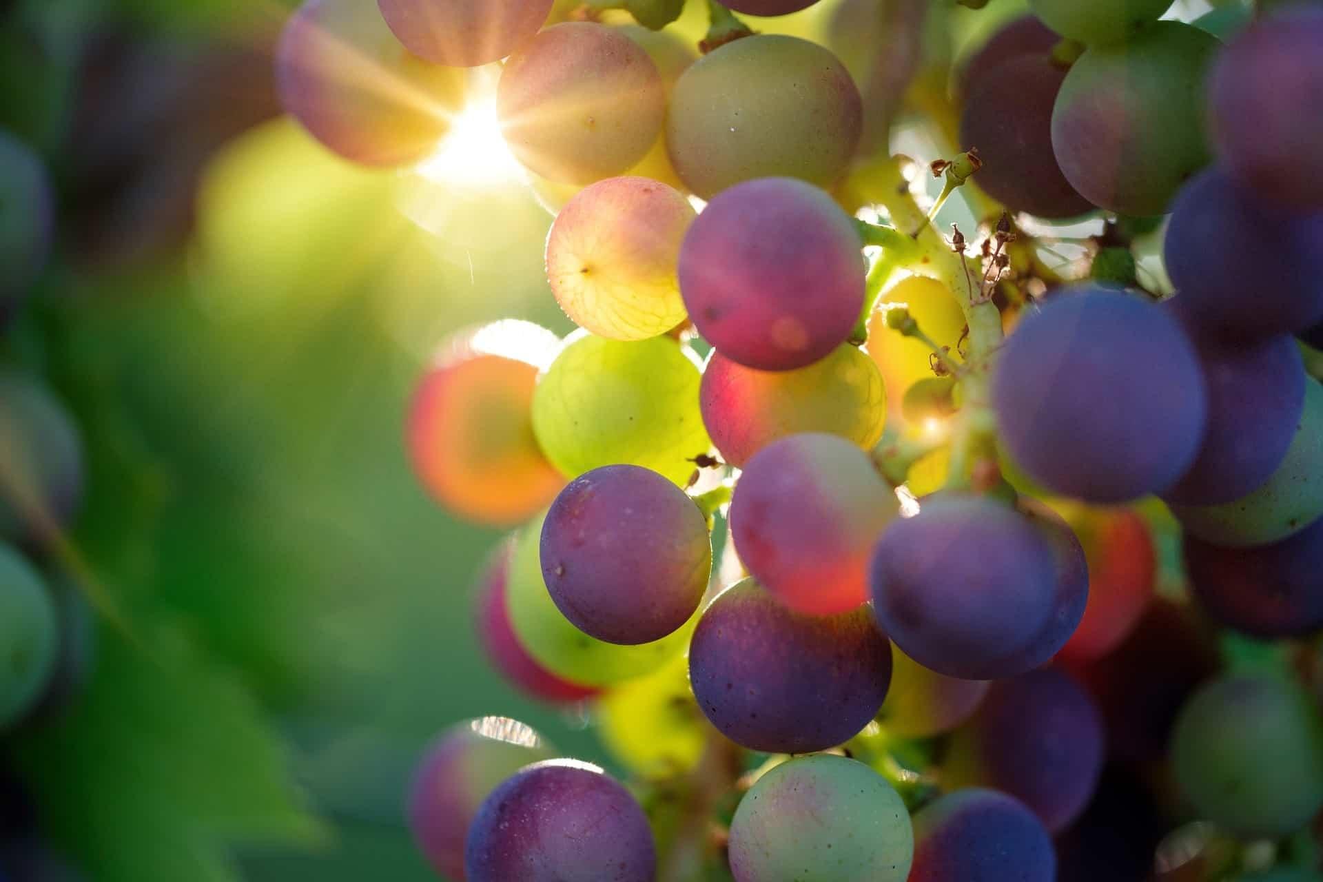 Lauffener Weingärtner mit der Qualität der Reben zufrieden