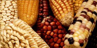 Genmanipulierte Produkte gehören nicht auf den EU-Markt