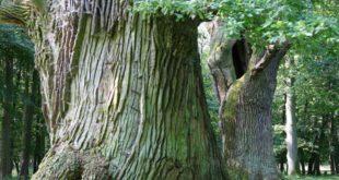 Mit Welterbe-Buchen und Weltklasse-Eichen hat Mecklenburg-Vorpommern auch in puncto Wald die Nase ganz weit vorn.