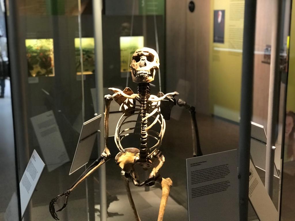 Skelett Ausstellung Neanderthal Museum