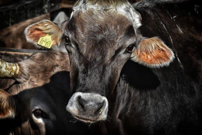 foodwatch: Massenhaft kranke Tiere in deutschen Ställen.