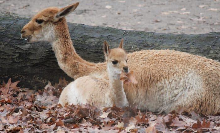 Zoo Duisburg - Vikunjanachwuchs bekommt einen Namen