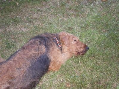 Hund im Hotel: Hier schläft unser Airedaile auf dem Rasen. Im Zimmer muss sie aufpassen und kann nicht schlafen.