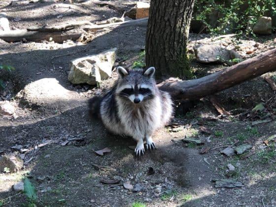 Waschbär Tierpark Thale